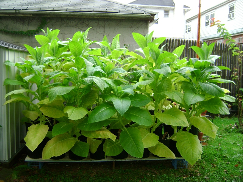 http://www.nycclash.com/TobaccoPlants-100309.JPG